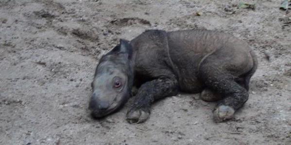 Andatu, bayi badak yang lahir di Taman Nasional Way Kambas pada sabtu (23/6/2012) pukul 00.45 WIB.